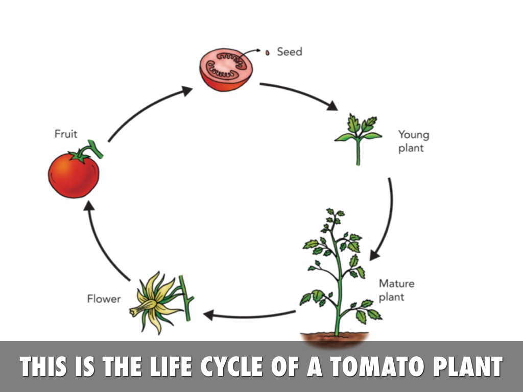 Life Cycle Of A Tomato Plant By Julia Perez