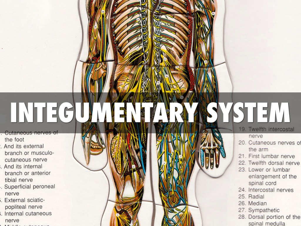 Integumentary System By Crushin