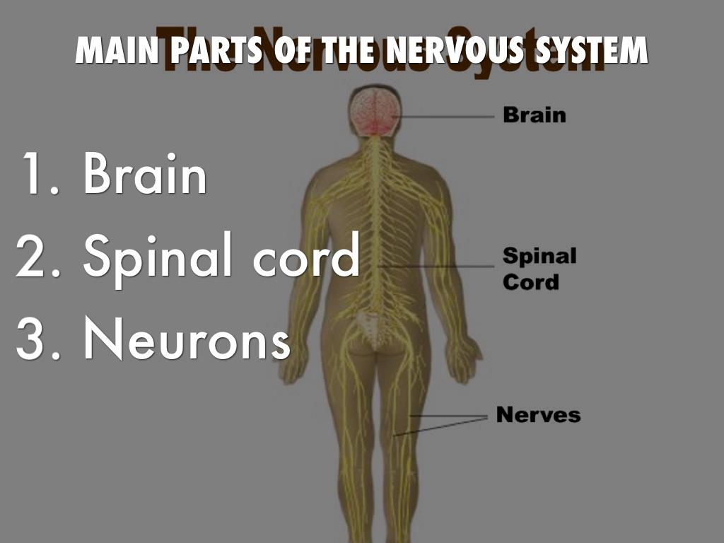 The Nervous System By Jalen Granlie