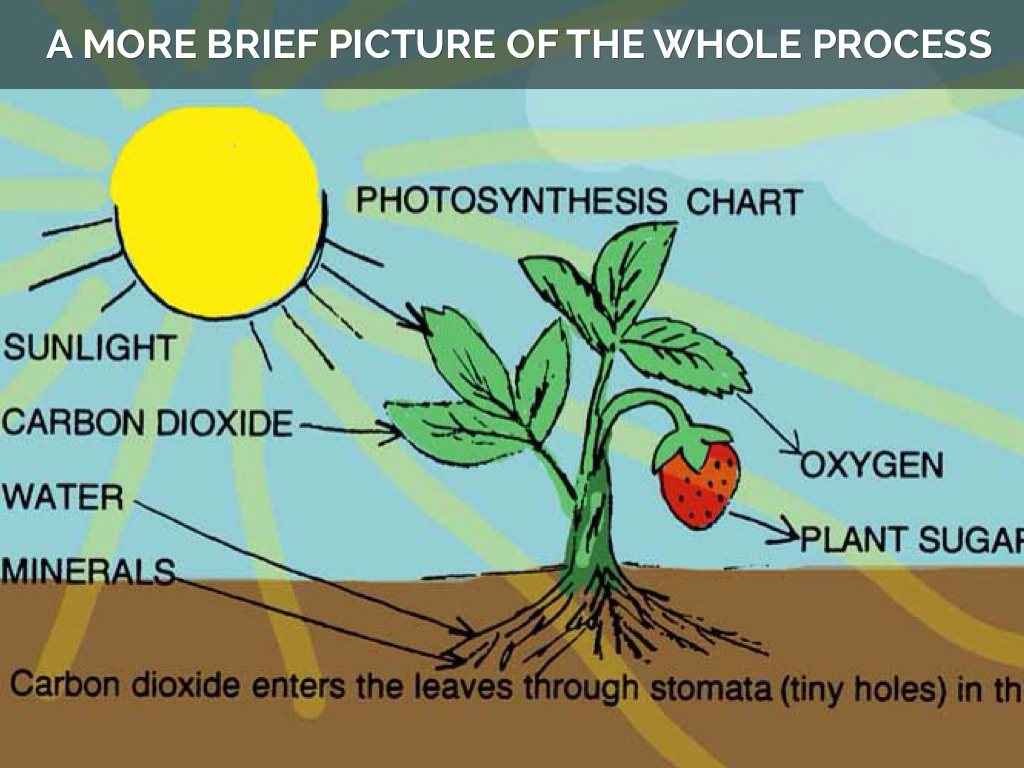 Photosynthesis And Cellular Respiration By Victor