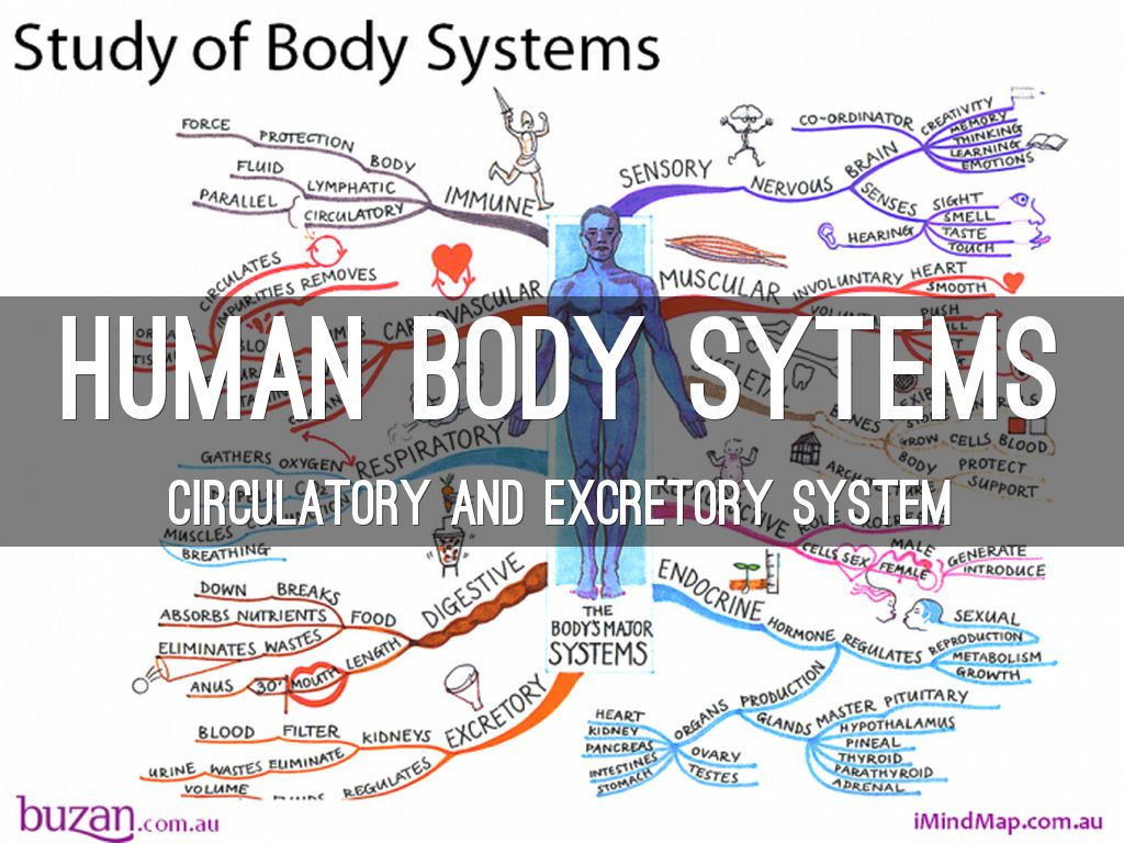 Human Body Sytems By Abbymarkow