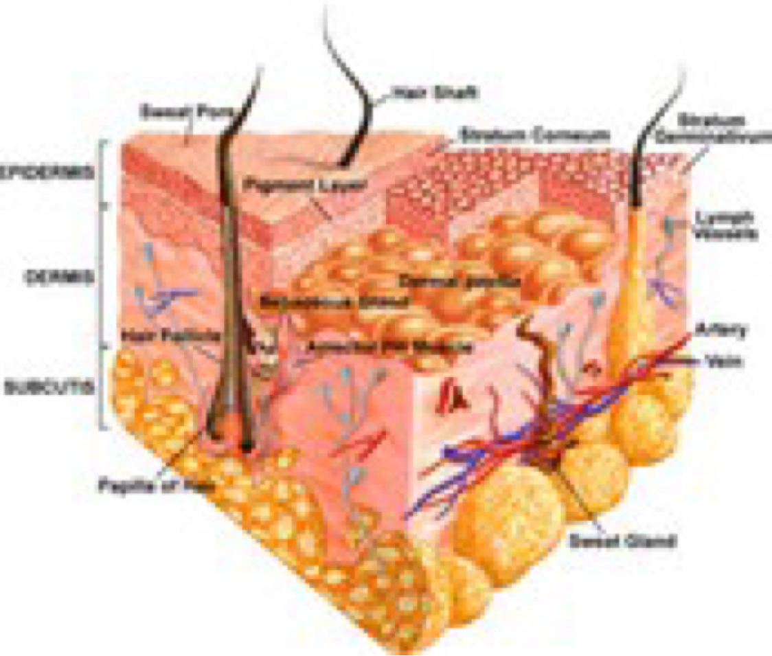 Integumentary System Labeled Diagram