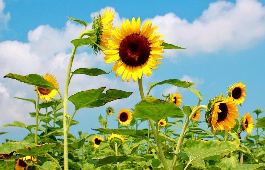 桃園親子景點/觀音向陽農場,徜徉在向日葵花海的親子免門票農場