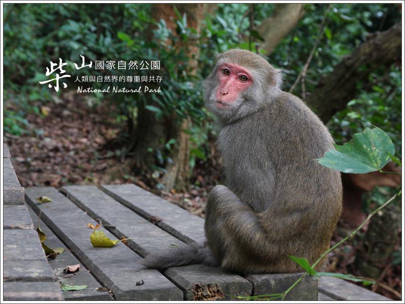 高雄景點推薦(壽山國家自然公園)柴山步道 雅座喝茶,看台灣獼猴!