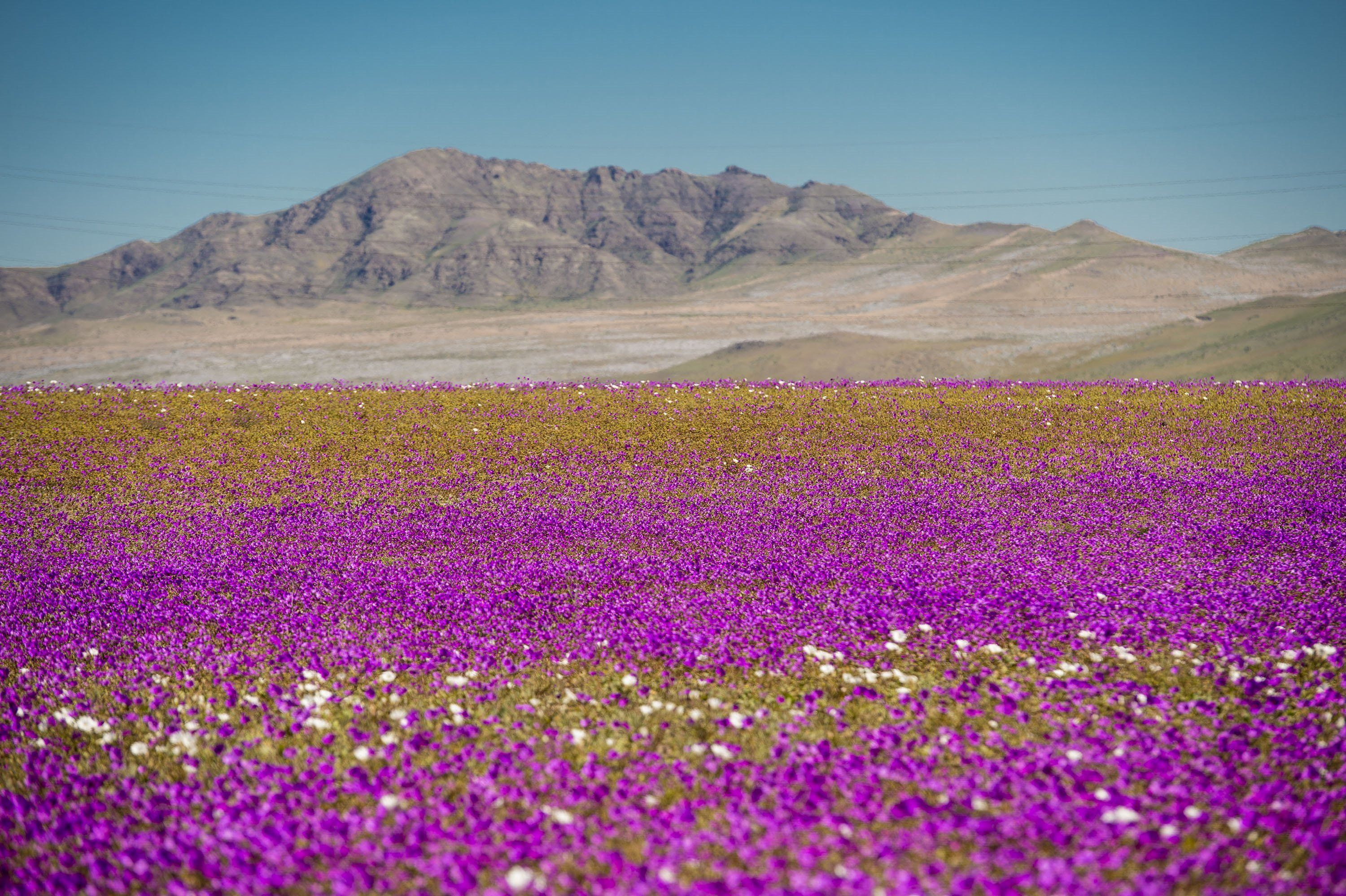 The World s Driest Desert Blooms With Hundreds Of Flowers After Rare     The World s Driest Desert Blooms With Hundreds Of Flowers After Rare Rain    HuffPost