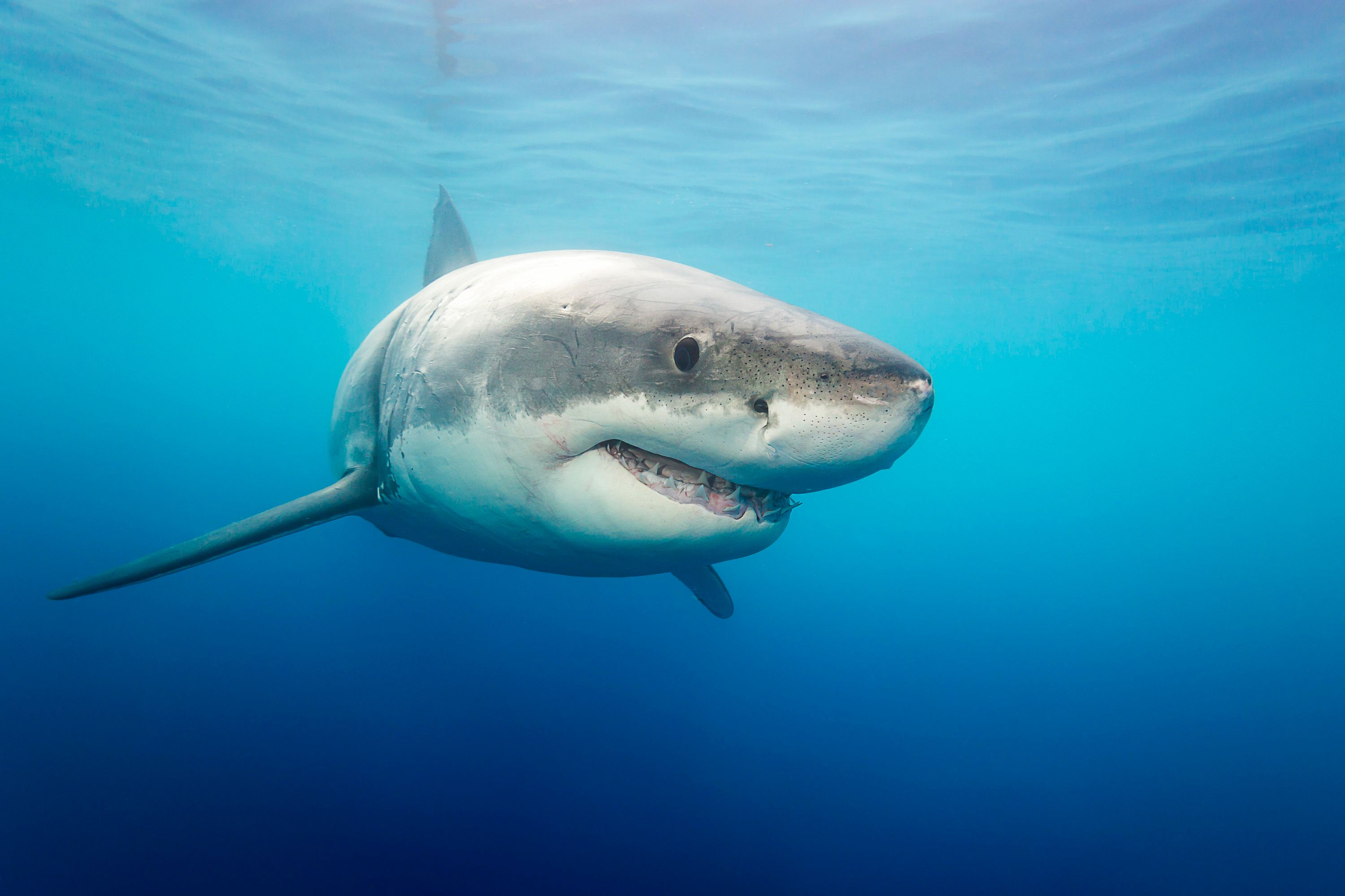 1,300-Pound Great White Shark Named Hilton Spotted Near ...