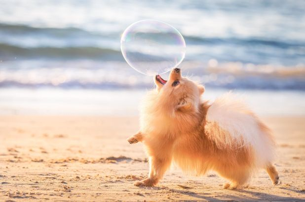 """<strong>First Place</strong><br>""""I'll Catch You""""<br>Lili, Pomeranian, Israel"""