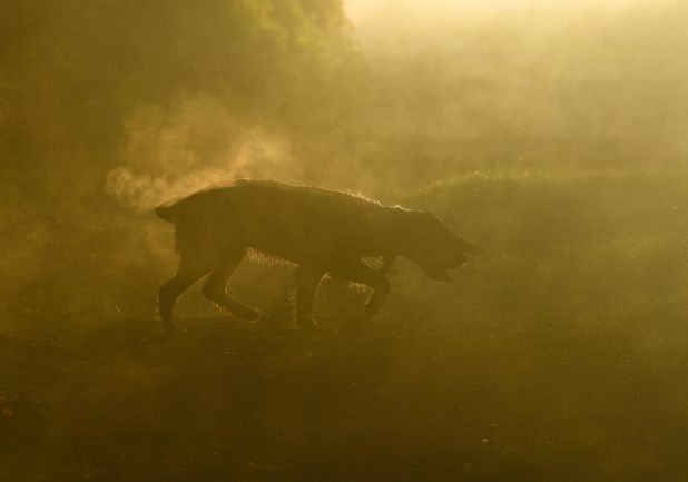 """<strong>Second Place</strong><br>""""Springer in the Mist""""<br>Tarly, English springer spaniel, U.K."""