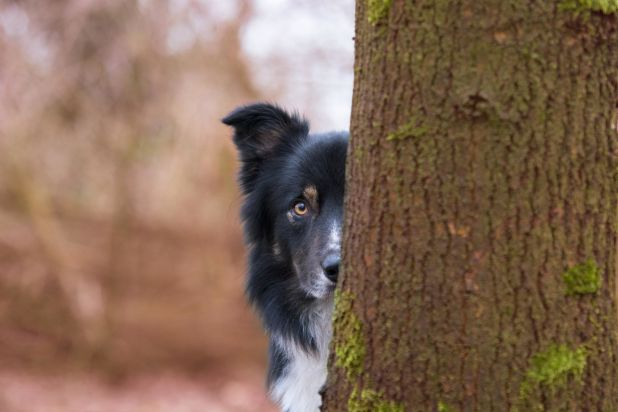 """<strong>Third Place</strong><br>""""Hide and Seek""""<br>Big City Borders Lad, border collie, Netherlands"""