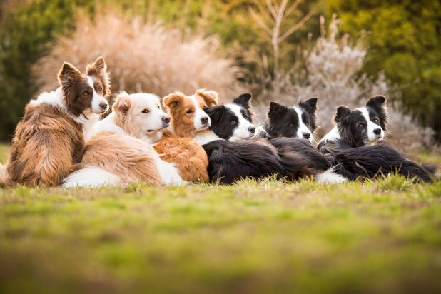 """<strong>First Place</strong><br>""""One Heart, One Family""""<br>Dash, Royal, Harley, Ženka, Ryan, Ready; border collies; Hungary"""