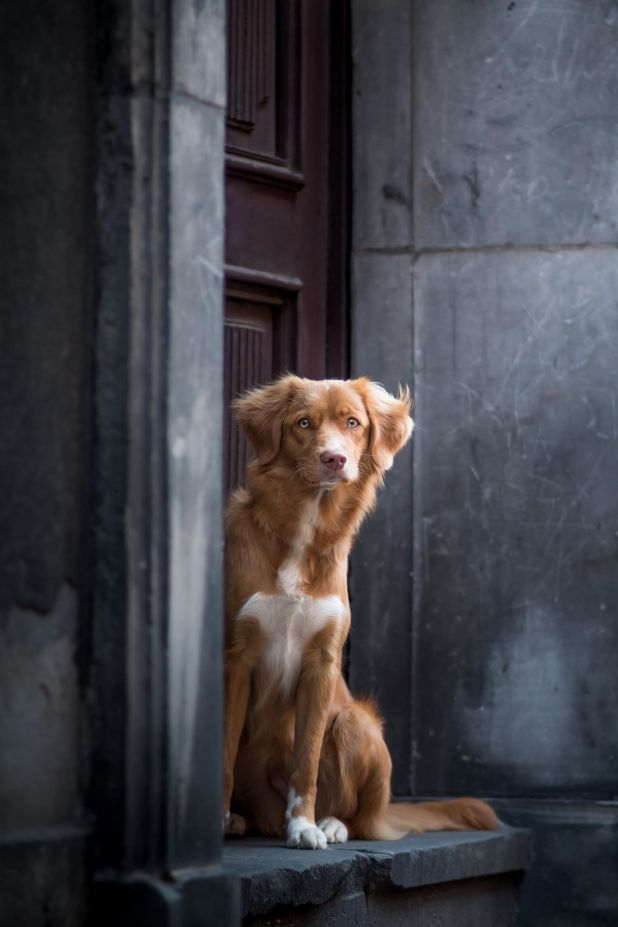 """<strong>Second Place</strong><br>""""Waiting Beauty""""<br>Thalia, Nova Scotia duck tolling retriever, Poland"""