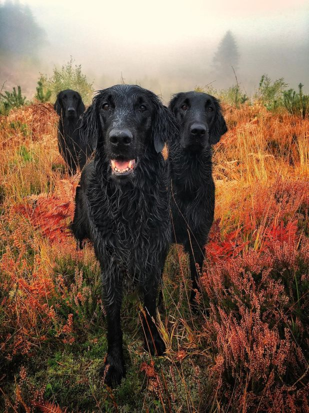 "<strong>First Place</strong><br>""Glenturret Autumn Gold""<br>Crew, Darcie, Pagan (Glenturret); flat-coated retrievers; U.K."