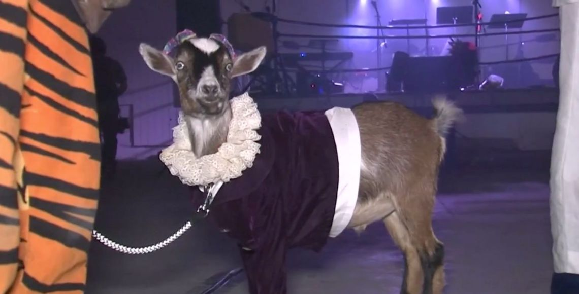 5 Cute Animal Pictures Of The Week: Party Goats And Very Naughty Dogs