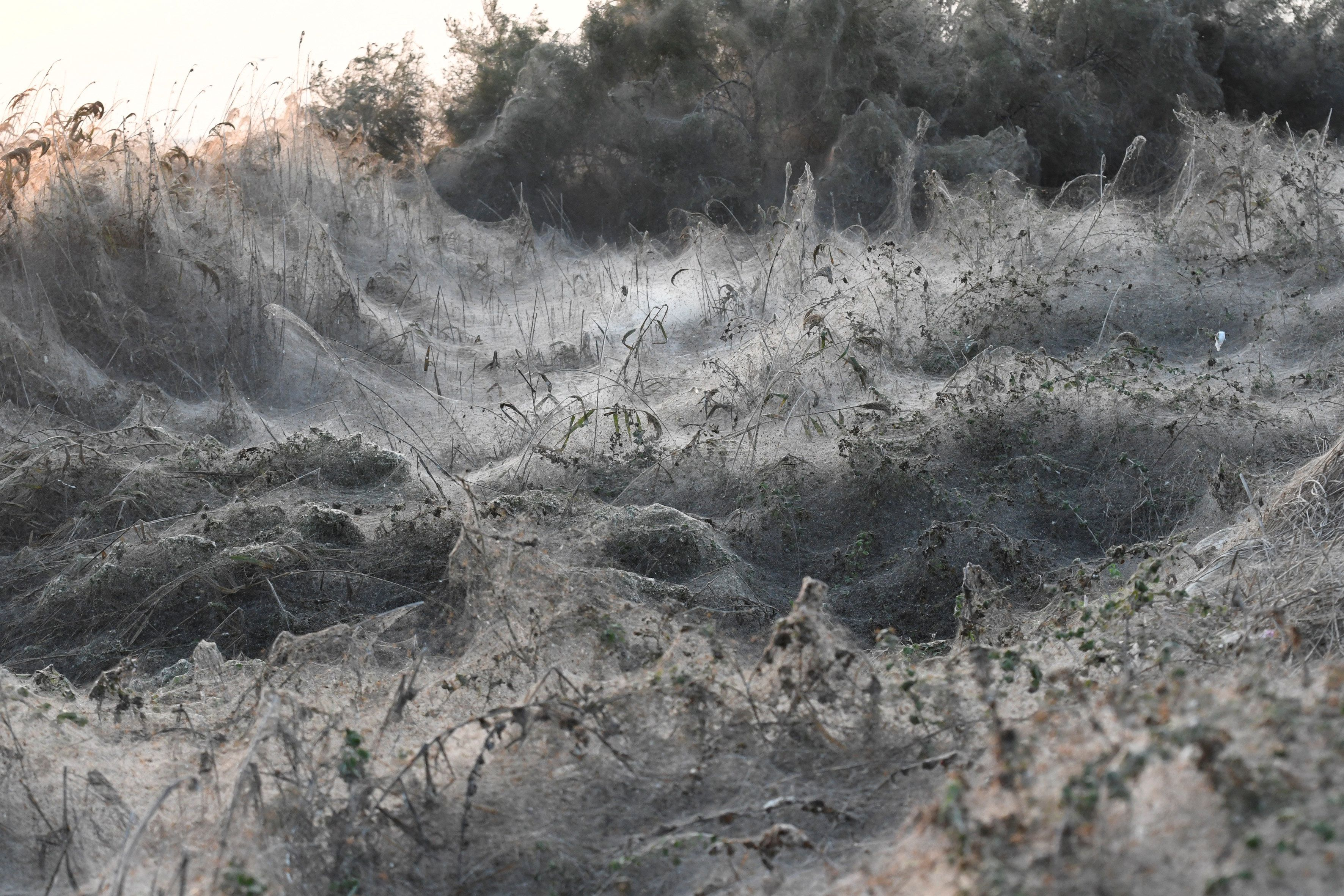 A gray-white blanket of spider webs.