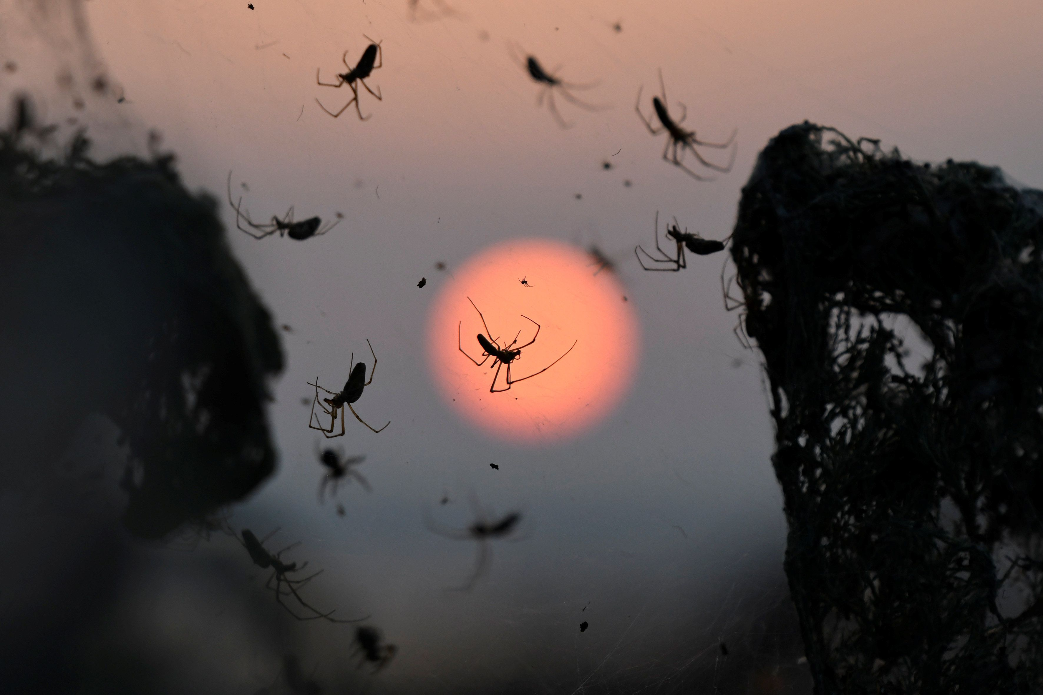 A close-up of spiders as the sun rises behind them.