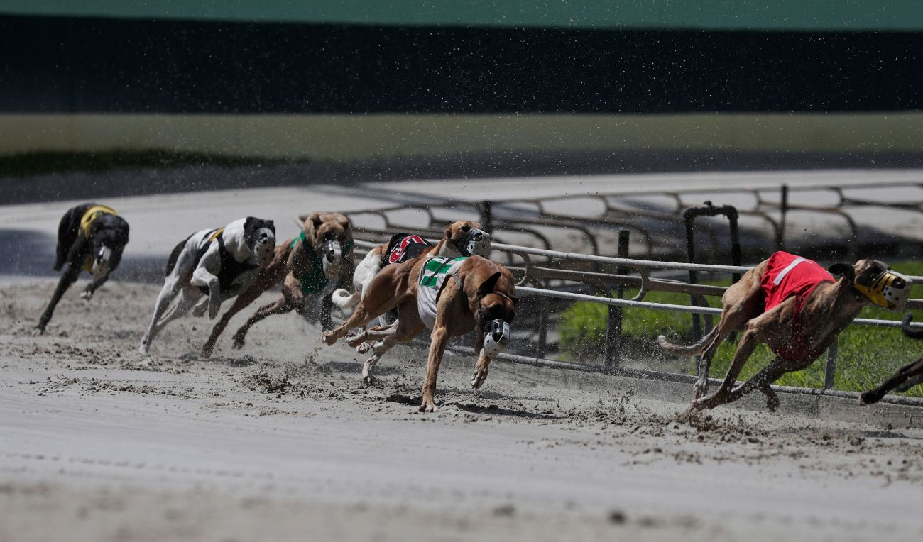 Greyhound dogs race at the Palm Beach Kennel Club in West Palm Beach, Florida.