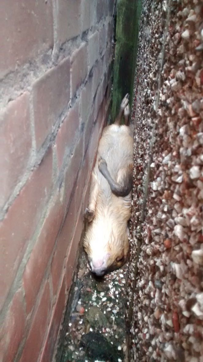 """A young muntjac deer became trapped upside-down between two walls in Bedworth, Warwickshire, in March. """"It was such a narrow"""