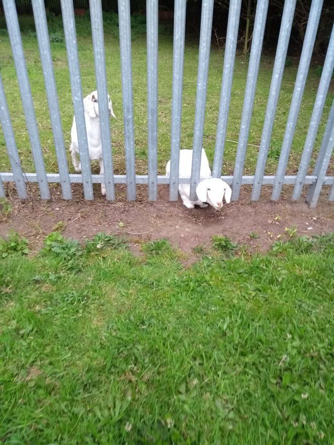 A goat got her head stuck between the bars of a metal fence in Norton, northeast England, in May. Animal collection officer E