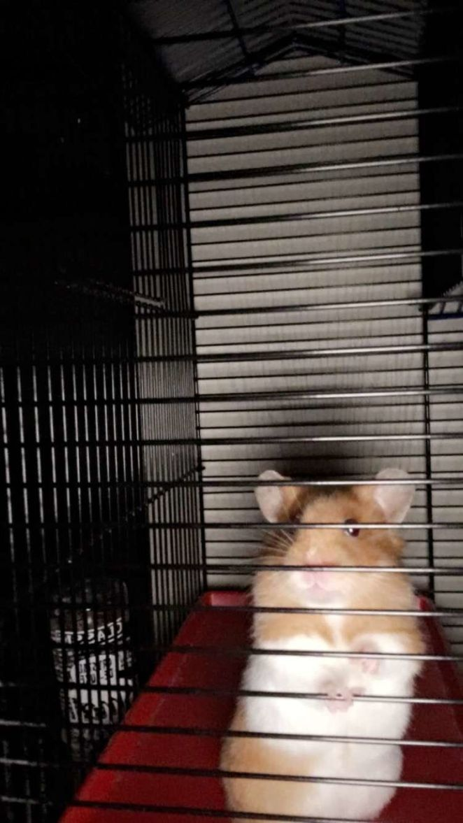 Thishamster called Jamie got wedged inside a tiny pipe for almost a week after escaping his cage in Bridgwater in south