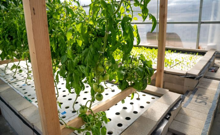 Tomatoes grow via aquaponics at the Ecolife Innovation Center in northern San Diego County.