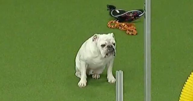 rudy the bulldog is doggone determined in westminster agility
