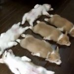 Corgi Puppies Stampede Sleep Play And Are Generally Super Cute Video Huffpost Canada