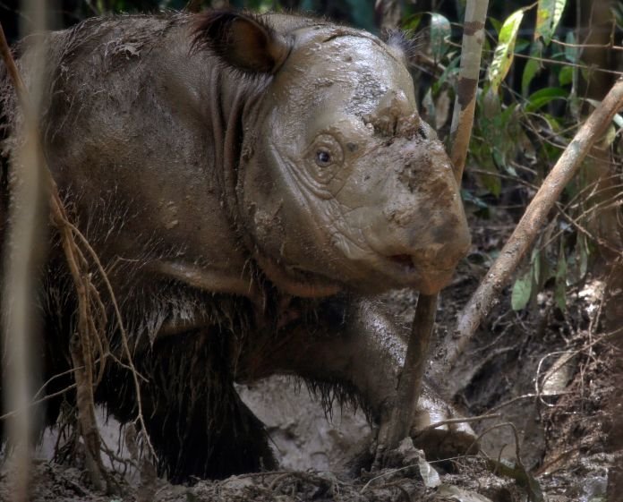 Fewer than 80 Sumatran rhinos are left on the planet, conservationists have warned.