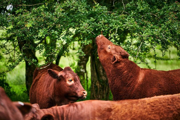 A breed of cow called Red Rubies, which has been bred over centuries to survive on the marshy wetlands in Devon.