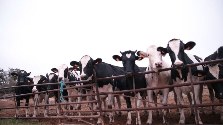 Vacas de la cooperativa Leche Gaza.