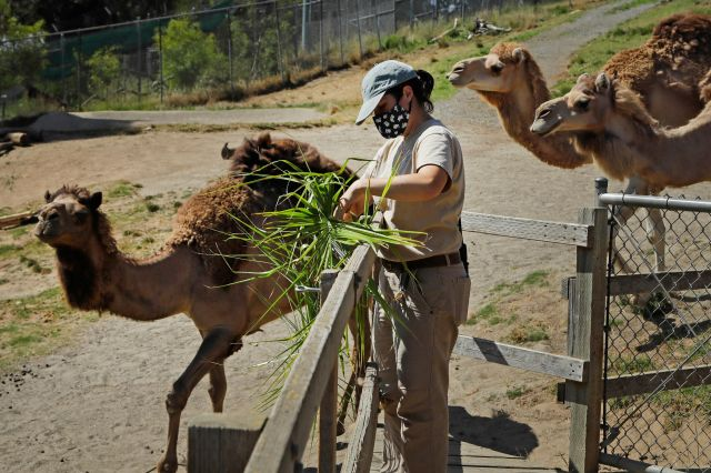 Zoo worker Alyssa Watt feeds camels at the Oakland Zoo, July 2, 2020, in Oakland, Calif.