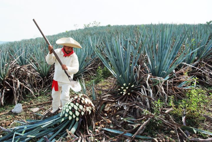 A jimador works the agave field in Tequila, Jalisco, Mexico.