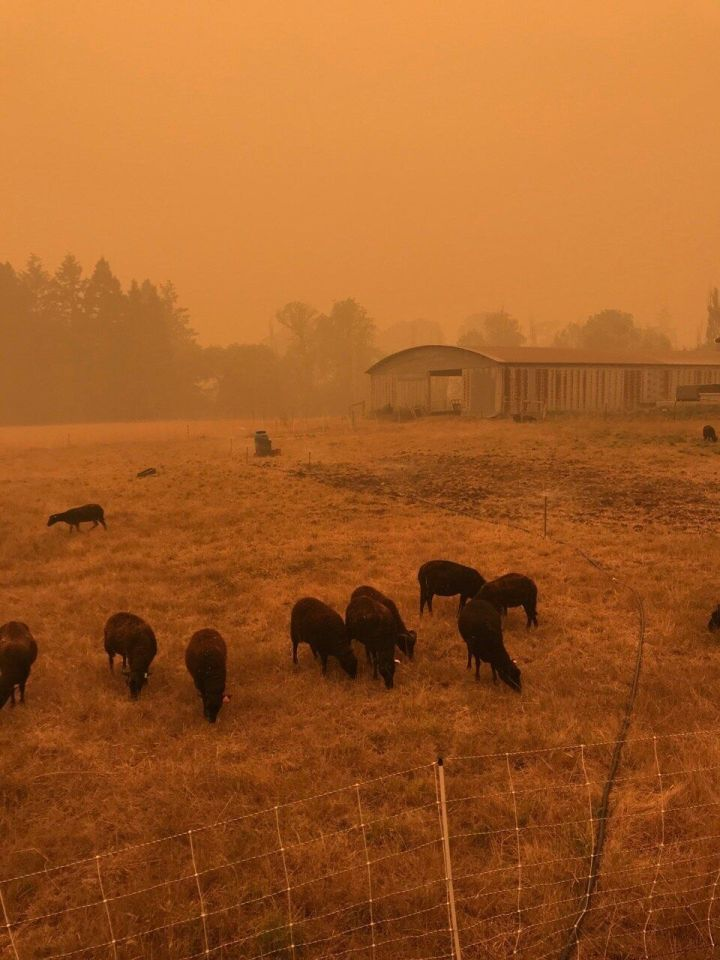 """Cattle graze at&nbsp;<a href=""""https://digginrootsfarm.com/"""">Diggin&rsquo; Roots Farm</a>&nbsp;in Oregon during the wildfires in September."""