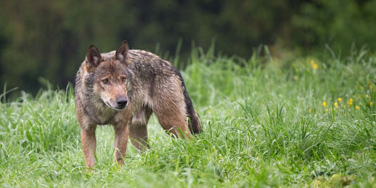 Wisconsin Doubles Wolf Hunt Quota Even After Biologists Warn Of Serious Risk To Population
