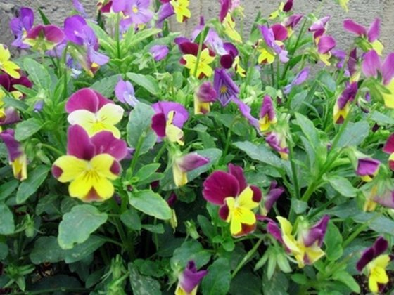 Flowers That Look Like Pansies   Hunker Pansy garden in bloom