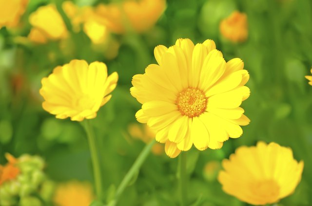 Is the Flower Marigold an Annual or a Perennial    Hunker Marigold flowers