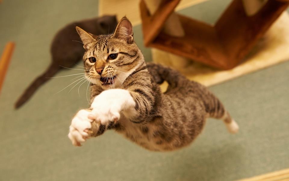 O gato com o salto mais alto do mundo tem vídeos incríveis no YouTube