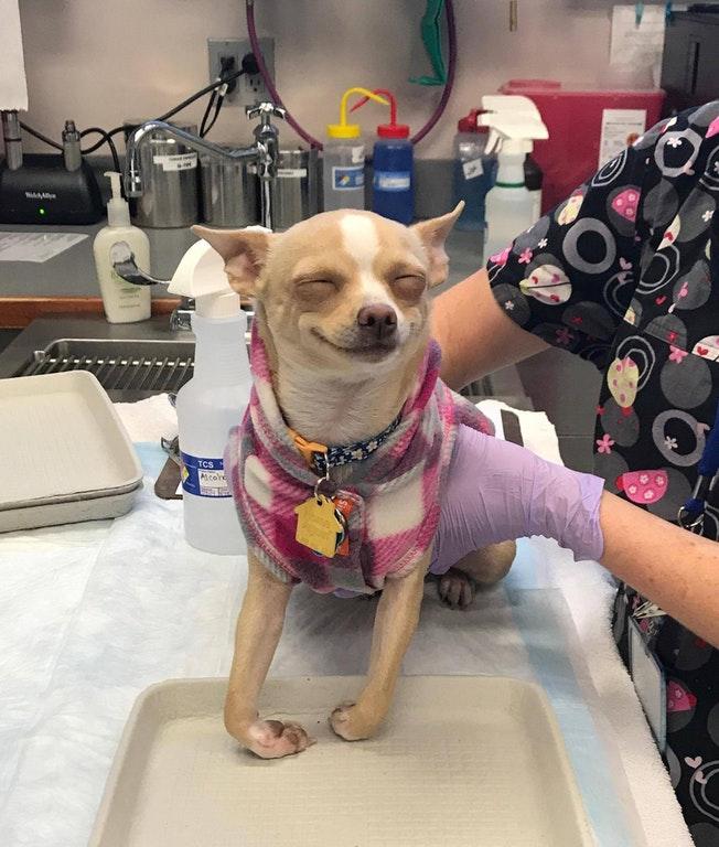 Chihuahua chapado
