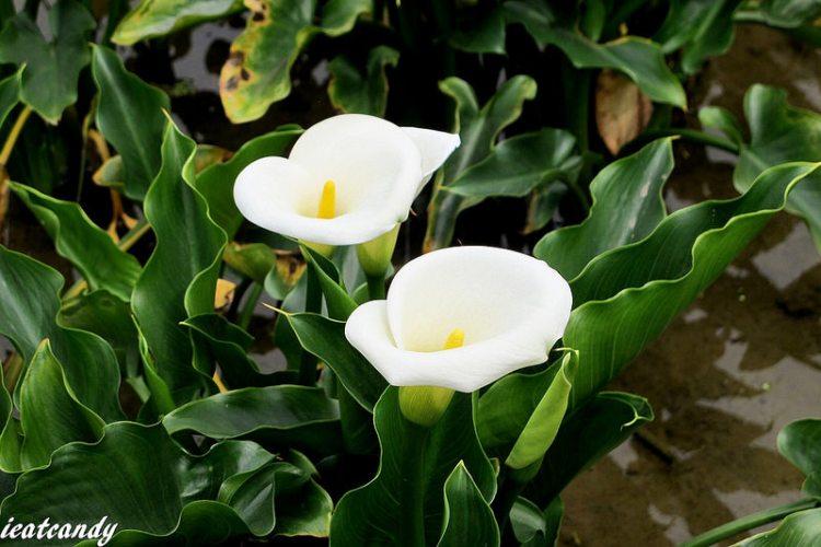 台北北投景點_陽明山竹子湖海芋│隨手札記。數大便是美的壯闊海芋田,品嘗春天的獨特之美。