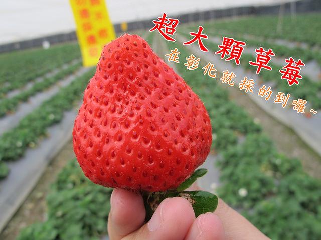 田尾景點_大彰化草莓園│彰化田尾、中部採草莓、超大超甜超漂亮超過癮~