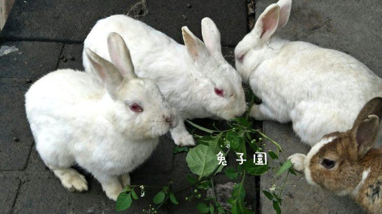 社頭景點_兔子園│令人不解的兔子園,走過路過,要錯過就………