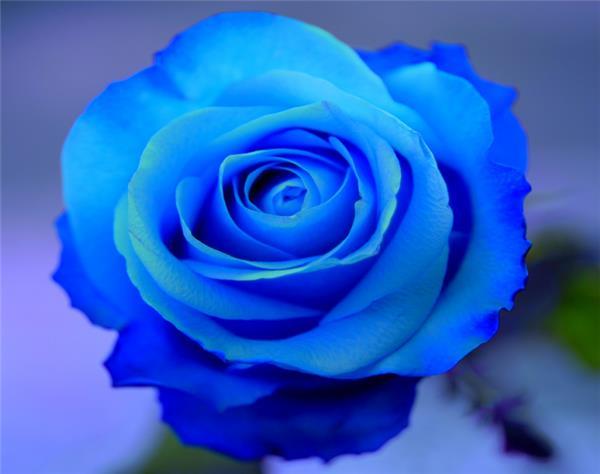 藍玫瑰代表什麼意思 - 愛我窩