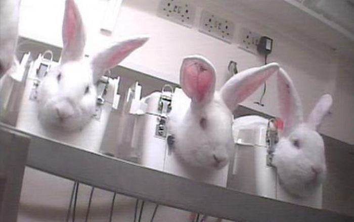 k87453468dfb717v0hat - 人間の勝手で…ウサギを縛り付けマスカラ3千回。衝撃的な動物実験の実態!