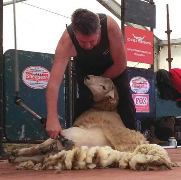 Irlanda - Un ganadero esquilando a una oveja.
