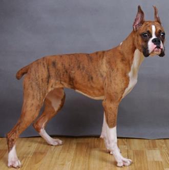 拳師犬多少錢 品相好的價格比較貴 - 愛寵物咨詢網