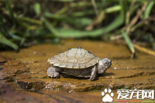 烏龜吃什麼飼料好 適合烏龜吃的幾種飼料 - 愛寵物咨詢網