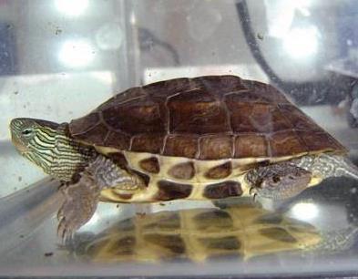 中華花龜壽命 平均在20年左右 - 愛寵物咨詢網