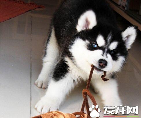 狗可以喝豆漿嗎 主要還是要看狗狗體質 - 愛寵物咨詢網