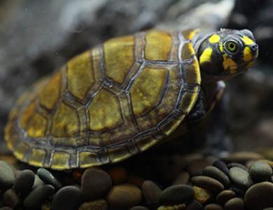 黃頭側頸龜能長多大 最大甲長達68釐米 - 愛寵物咨詢網