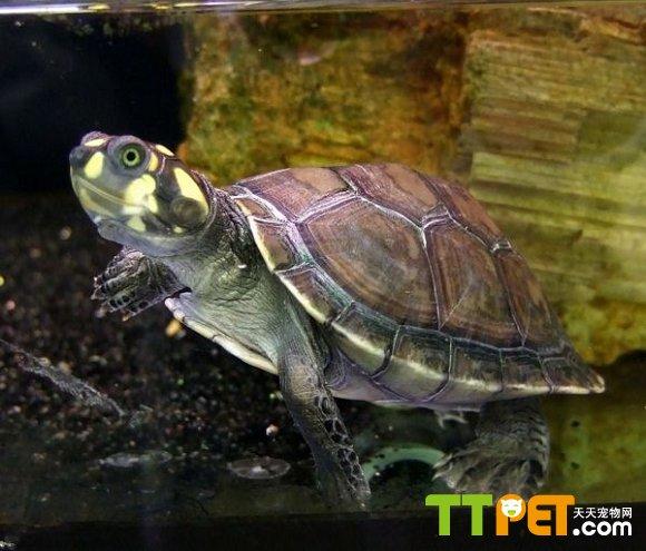 黃頭側頸龜(忍者神龜)的介紹 - 愛寵物咨詢網