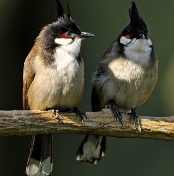 紅耳鵯飼養 鳥必須要喝乾淨的水 - 愛寵物咨詢網
